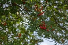 Sorbus aucuparia autumn red fruits on the tree with leaves against blue sky. Sorbus aucuparia autumn red fruits on the tree with green leaves against blue sky stock images