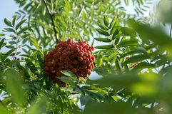 Sorbus aucuparia autumn red fruits on the tree with leaves against blue sky. Foliage Stock Photos