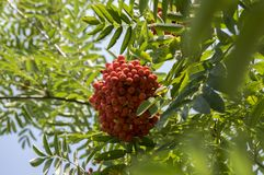 Sorbus aucuparia autumn red fruits on the tree with leaves against blue sky. Foliage stock images