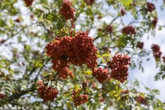 Sorbus aucuparia autumn red fruits on the tree with leaves against blue sky. Foliage stock photography