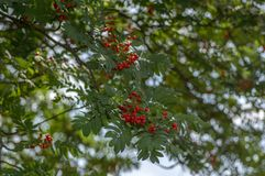 Sorbus aucuparia autumn red fruits on the tree with leaves against blue sky. Sorbus aucuparia autumn red fruits on the tree with green leaves against blue sky royalty free stock images