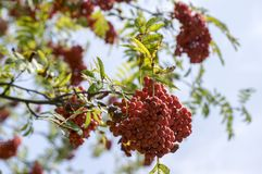 Sorbus aucuparia autumn red fruits on the tree with leaves. Against blue sky Royalty Free Stock Images