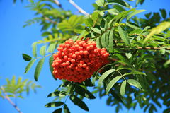 Sorbus aucuparia. In Botanical terminology, the fruit of the Rowan - apples, the people call them berries. The fruits are bright red or red-orange, spherical Royalty Free Stock Photography