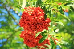 Sorbus aucuparia. In Botanical terminology, the fruit of the Rowan - apples, the people call them berries. The fruits are bright red or red-orange, spherical Stock Photography