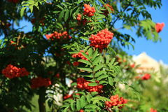 Sorbus aucuparia. In Botanical terminology, the fruit of the Rowan - apples, the people call them berries. The fruits are bright red or red-orange, spherical Royalty Free Stock Photo