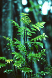 Sorbus aucuparia. Close-up of a small sorb tree with green leaves Royalty Free Stock Photography