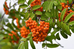 Sorbus aucuparia. Commonly called rowan and mountain-ash Stock Photo