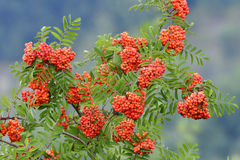 Sorbus aucuparia. Commonly called rowan and mountain-ash Stock Photography