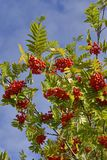 Sorbus aucuparia, commonly called rowan and mountain-ash. Against blue sky Royalty Free Stock Images