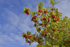 Sorbus aucuparia, commonly called rowan and mountain-ash. Against blue sky Royalty Free Stock Photo