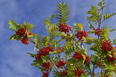 Sorbus aucuparia, commonly called rowan and mountain-ash. Against blue sky Stock Images