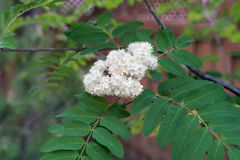 Sorbus aucuparia flower. Rowan (Sorbus aucuparia) leaves with white flower Stock Image
