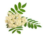 Sorbus aucuparia flowers isolated on white background.  Stock Photos