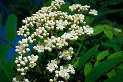 Sorbus aucuparia - Flowers rowan. lowering rowan in spring time. White flowers of the rowan tree Royalty Free Stock Images