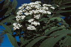 Sorbus aucuparia - Flowers rowan. lowering rowan in spring time. White flowers of the rowan tree Royalty Free Stock Photo