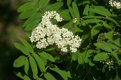 Sorbus aucuparia - Flowers rowan. lowering rowan in spring time. White flowers of the rowan tree. Spring. Flowering cluster of the wild ash Royalty Free Stock Images