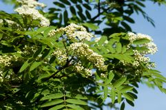 Sorbus aucuparia - Flowers rowan. lowering rowan in spring time. White flowers of the rowan tree. Spring. Flowering cluster of the wild ash Stock Photos