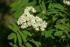 Sorbus aucuparia - Flowers rowan. lowering rowan in spring time. White flowers of the rowan tree. Spring. Flowering cluster of the wild ash stock images