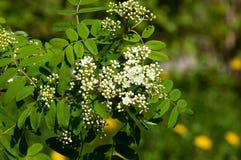 Sorbus aucuparia - Flowers rowan. lowering rowan in spring time. White flowers of the rowan tree. Spring. Flowering cluster of the wild ash royalty free stock photos