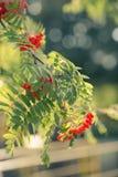 Sorbus aucuparia Stock Photo