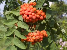Sorbus aucuparia fruits. The bunch of Sorbus aucuparia fruits stock photo