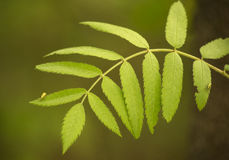 Sorbus aucuparia leaf close up. Sorbus aucuparia, commonly called rowan and mountain-ash, is a species of deciduous tree or shrub in the rose family. It is a Stock Photo
