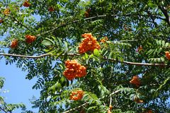 Sorbus aucuparia leafage and fruits against the sky. Sorbus aucuparia leafage and fruits against blue sky Royalty Free Stock Image