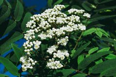 Sorbus aucuparia lowering rowan in spring time. Sorbus aucuparia - Flowers rowan. lowering rowan in spring time. White flowers of the rowan tree Stock Images