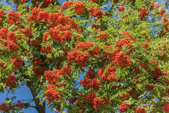 Sorbus aucuparia. Many the ripened berries of a mountain ash Royalty Free Stock Images