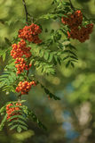 Sorbus aucuparia. Many the ripened berries of a mountain ash Stock Image