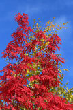 Sorbus aucuparia. Mountain ash. Sorbus aucuparia. Red leaves of a mountain ash against the blue sky Royalty Free Stock Image