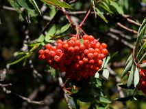 Sorbus Aucuparia Or Mountain Ash Or Rowan Berries. Sorbus aucuparia or mountain ash  or rowan tree berries in late summer Royalty Free Stock Photos