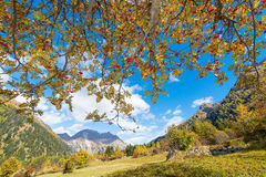 Sorbus aucuparia plant in the alps. Sorbus aucuparia tree in full autumn bloom in the Swiss Alps Stock Image