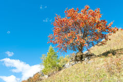 Sorbus aucuparia plant. Sorbus aucuparia tree in full autumn bloom Stock Photography