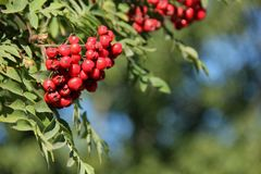 Sorbus aucuparia. The red berries of the Sorbus aucuparia or Mountain Ash growing in a garden on Kodiak Island, Alaska, USA Royalty Free Stock Image