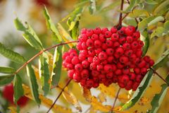 Sorbus aucuparia. The red berries of a Sorbus aucuparia or Mountain Ash on Kodiak Island, Alaska Royalty Free Stock Photo