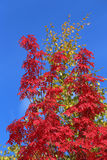Sorbus aucuparia. Red leaves of a mountain ash against the blue sky stock photos