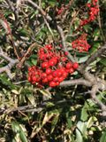 Sorbus aucuparia or Rowan berry produce the fruit. Royalty Free Stock Photos