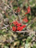 Sorbus aucuparia or Rowan berry produce the fruit. Stock Photo