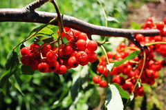 Sorbus aucuparia, rowan or mountain-ash with orange berries in summer.  Stock Images