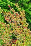 Sorbus aucuparia, rowan or mountain-ash tree canopy with red fruits against spruce trees. Rowan tree crown. Natural pattern or background Royalty Free Stock Images