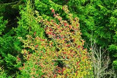 Sorbus aucuparia, rowan or mountain-ash tree canopy with red fruits against spruce trees. Rowan tree crown. Natural pattern or background stock images