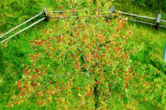 Sorbus aucuparia, rowan or mountain-ash tree canopy with red ripe fruits. Rowan tree crown aerial top view. Natural pattern or background Stock Photos