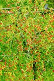 Sorbus aucuparia, rowan or mountain-ash tree canopy with red ripe fruits. Rowan tree crown aerial top view. Natural pattern or background Royalty Free Stock Images