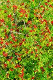Sorbus aucuparia, rowan or mountain-ash tree canopy with red ripe fruits. Rowan tree crown aerial top view. Natural pattern or background Stock Images