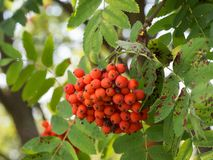 Sorbus aucuparia rowan or mountain-ash tree with ornge berries growing on it. Detail of an orange berries of Sorbus aucupariarowan or mountain-ash tree, growing royalty free stock images