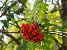 Sorbus aucuparia rowan or mountain-ash tree with ornge berries growing on it. Detail of an orange berries of Sorbus aucupariarowan or mountain-ash tree, growing stock photos