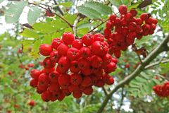 Sorbus aucuparia, the rowan. Sorbus aucuparia plant and fruit, commonly known as rowan or mountain ash Stock Photos