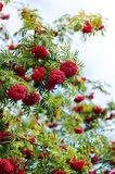 Sorbus aucuparia. Rowan tree with fruits in the autumn Royalty Free Stock Images