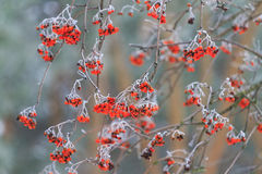Sorbus berries covered with frost. Winter bird food, red berries stock image